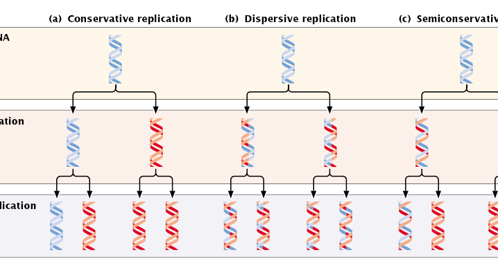 Dna replication conservative semi conservative and for Explain how dna serves as its own template during replication