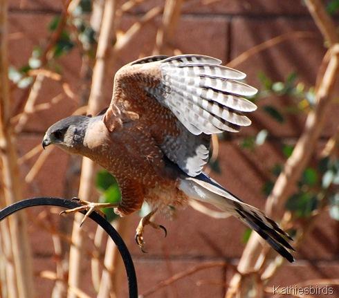 1. Cooper's hawk-kab