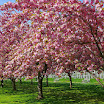 Cherry Blossom - Brooklyn Botanic Garden