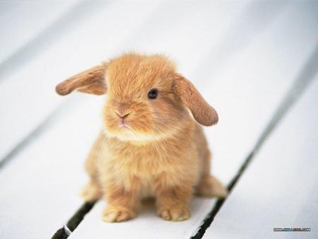 baby-bunny-cute-brown