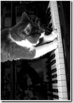 gato pianista blogdeimagenes (37)