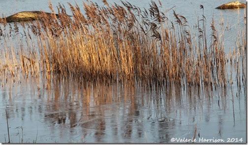 50-reeds