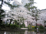 Cherry trees in Shimizudani Park