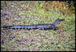 01b2 - Alligator - Little Alligator