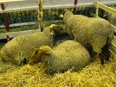 2015.02.26-013 mouton Mourérous