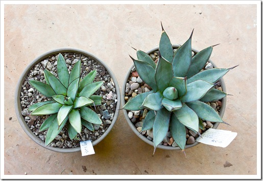 120918_Agave-Royal-Spine- -Little-Shark_02