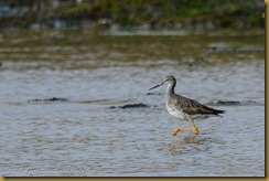 Greater Yellowlegs - Tringa melanoleuca,