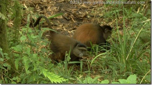 Golden Monkeys Volcanoes National Park Rwanda -  Golden monkey tracking or Trekking to see the golden monkeys is another highlight of Volcanoes National Park. The Golden Monkey (Cercopithecus Mitis Kandti) is a local subspecies