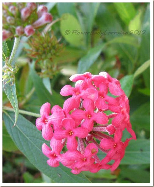 11-26-panama-rose-bush-penta