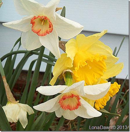 Daffodils_Mixed