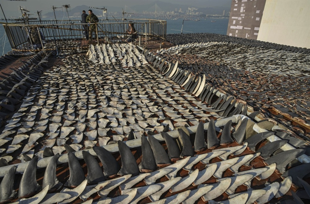 Thousands of shark fins drying in the sun cover the roof of a factory building in Hong Kong on 2 January 2013. Shark poachers have moved the shark fins to secluded rooftops instead of sidewalks – as they have done in the past – to avoid public anger. Photo: Antony Dickson / AFP / Getty Images