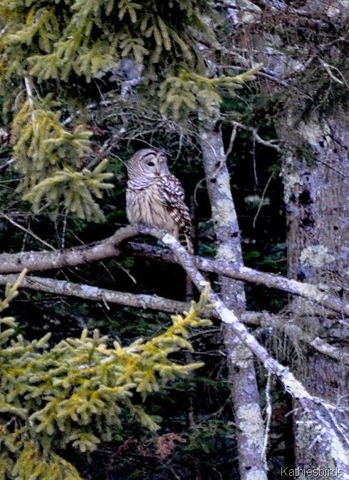 3. Barred Owl-kab