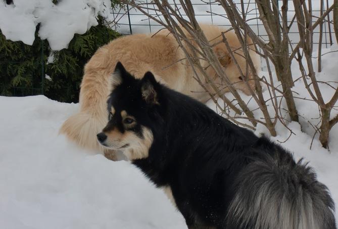 """Jackie og Roxie snuser under """"fuglemat busken"""""""