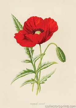 commonpoppy collectorsprints