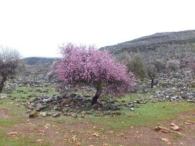 Almendros en la Sierra de Loja