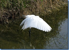 6549 Texas, South Padre Island - Birding and Nature Center - Great Egret