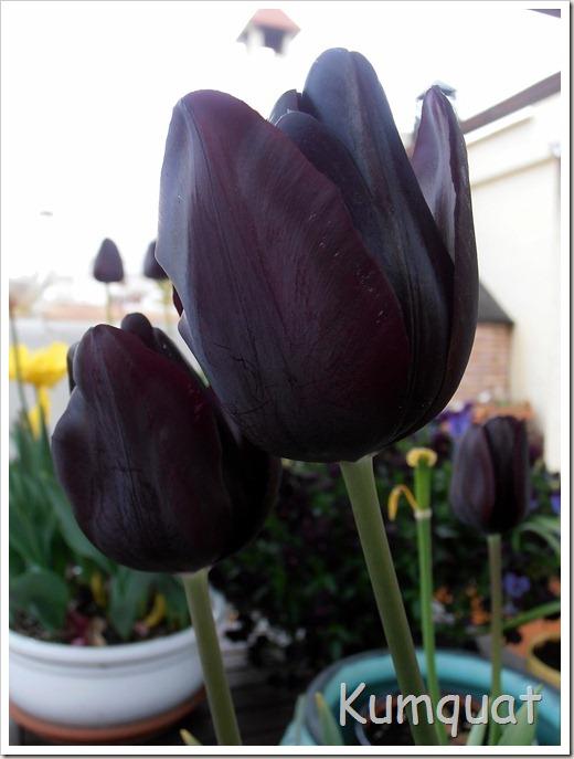 tulipan 8
