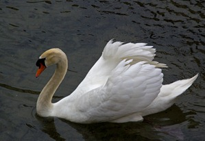 millau-swan