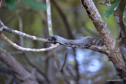 Mangrove Tree Snake