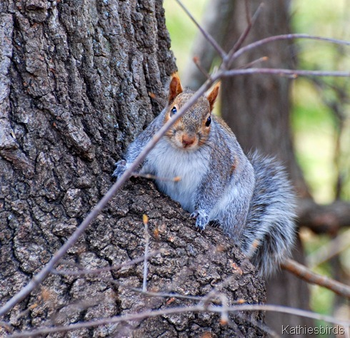 3. gray squirrel-kab