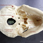 skull_foramen_magnum_labeled.JPG