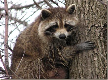 Raccoon_female