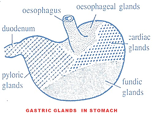 stomach-gastric-glands