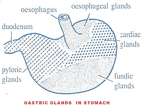stomach-gastric-glands
