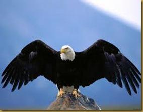 águia 1