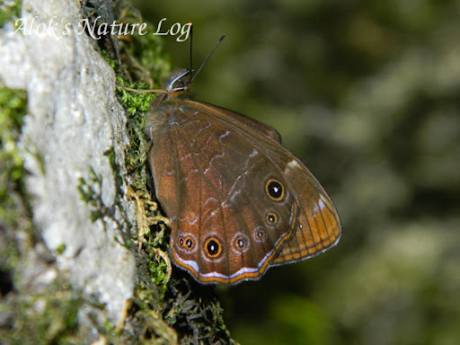 Nymphalidae%25252c%252520lethe%252520sidonis%25252c%252520common%252520woodbrown