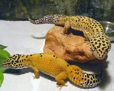 Amazing Pictures of Animals, Photo, Nature, Incredibel, Funny, Zoo, Eublepharis macularius, Leopard gecko, Alex (8)
