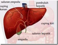 Gambar Hati Manusia