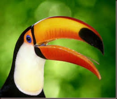 Amazing Pictures of Animals photo Nature exotic funny incredibel Zoo, Ramphastidae, Toucan, Bird, Alex (2)