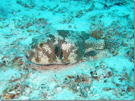 Giant Pufferfish (sub-adult)