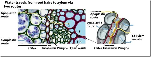 Apoplast vs Symplast