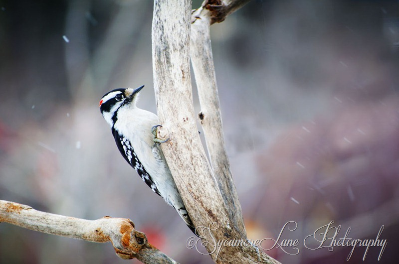 Downy Woodpecker-web-SycamoreLane Photography