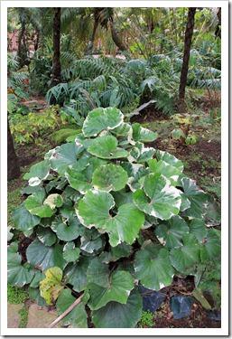 130403_Lotusland_Fern-Garden_Farfugium-japonicum-Argenteum_01