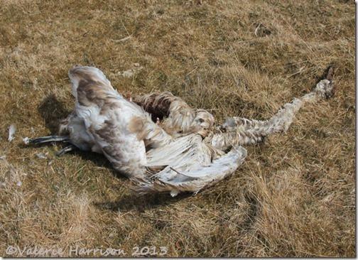 30-dead-swan