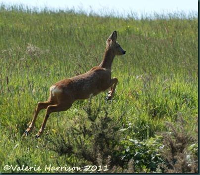 20-roe-deer