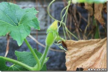 瓢瓜(瓠仔)的幼瓜