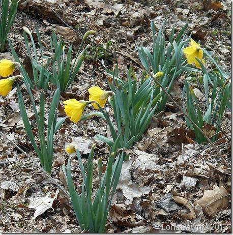 Daffodils_Woods