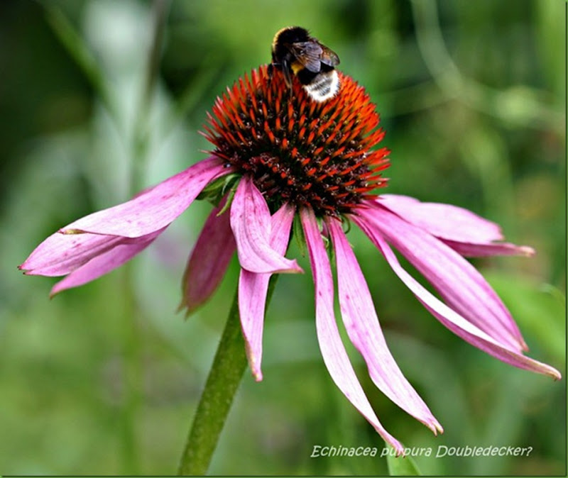 echinacea purpura double decker[9]