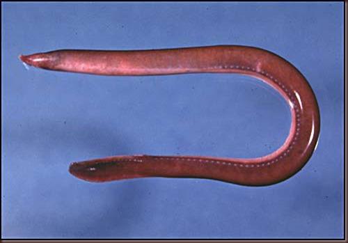 Amazing Animal Pictures Hagfish (6)