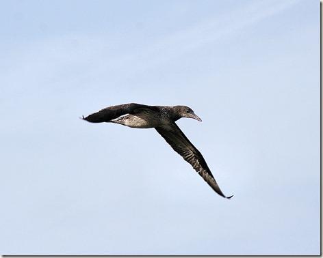 Northern Gannet Juvenile