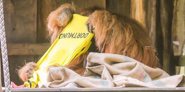 Prediksi orangutan