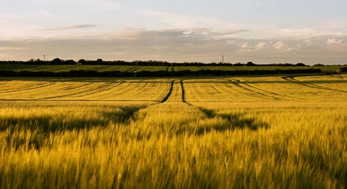 Summer-Barley-3