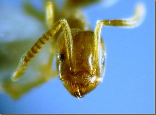 Bothriomyrmex hispanicus