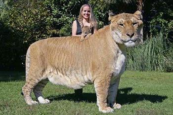 Ligre (leone M x tigre F)