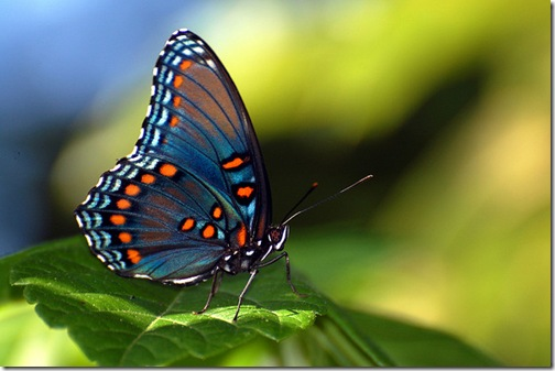 mariposa_alas