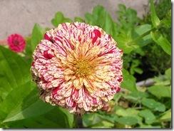 včely na květech 103